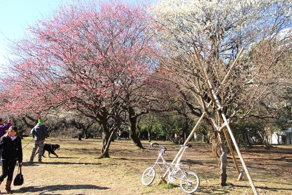 AM-GT Mk.II: 駒沢公園の梅